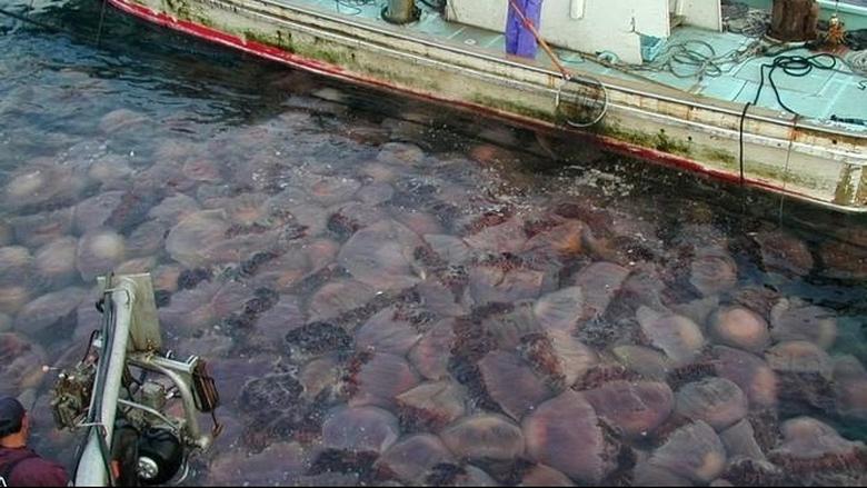 Ιδού οι λόγοι της… επιδρομής μεδουσών στις ελληνικές θάλασσες
