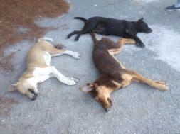 Δηλητηριάσεις σκύλοι (1)