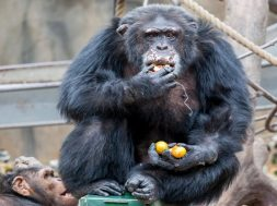 ximpantzis