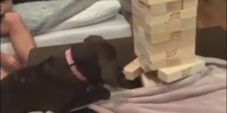 Σκύλος παίζει τζένγκα και αφαιρεί με δεξιοτεχνία τουβλάκι χωρίς να ρίξει τον πύργο (βίντεο)
