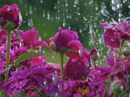 flowers_in_the_rain_wallpaper-550×309