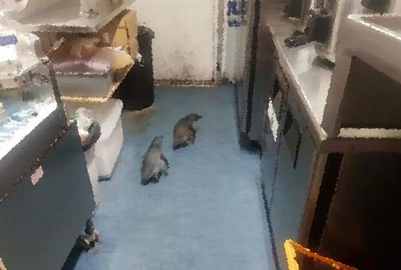 Συνελήφθησαν δύο πιγκουίνοι επειδή διέρρηξαν εστιατόριο σούσι