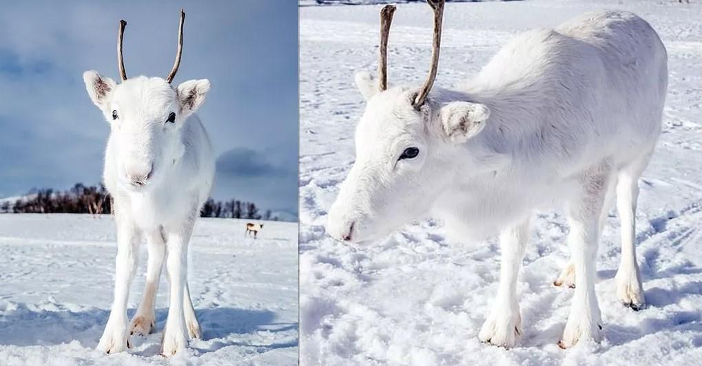 Σπάνιος λευκός τάρανδος εντοπίστηκε στην Νορβηγία και είναι στ' αλήθεια αξιολάτρευτος