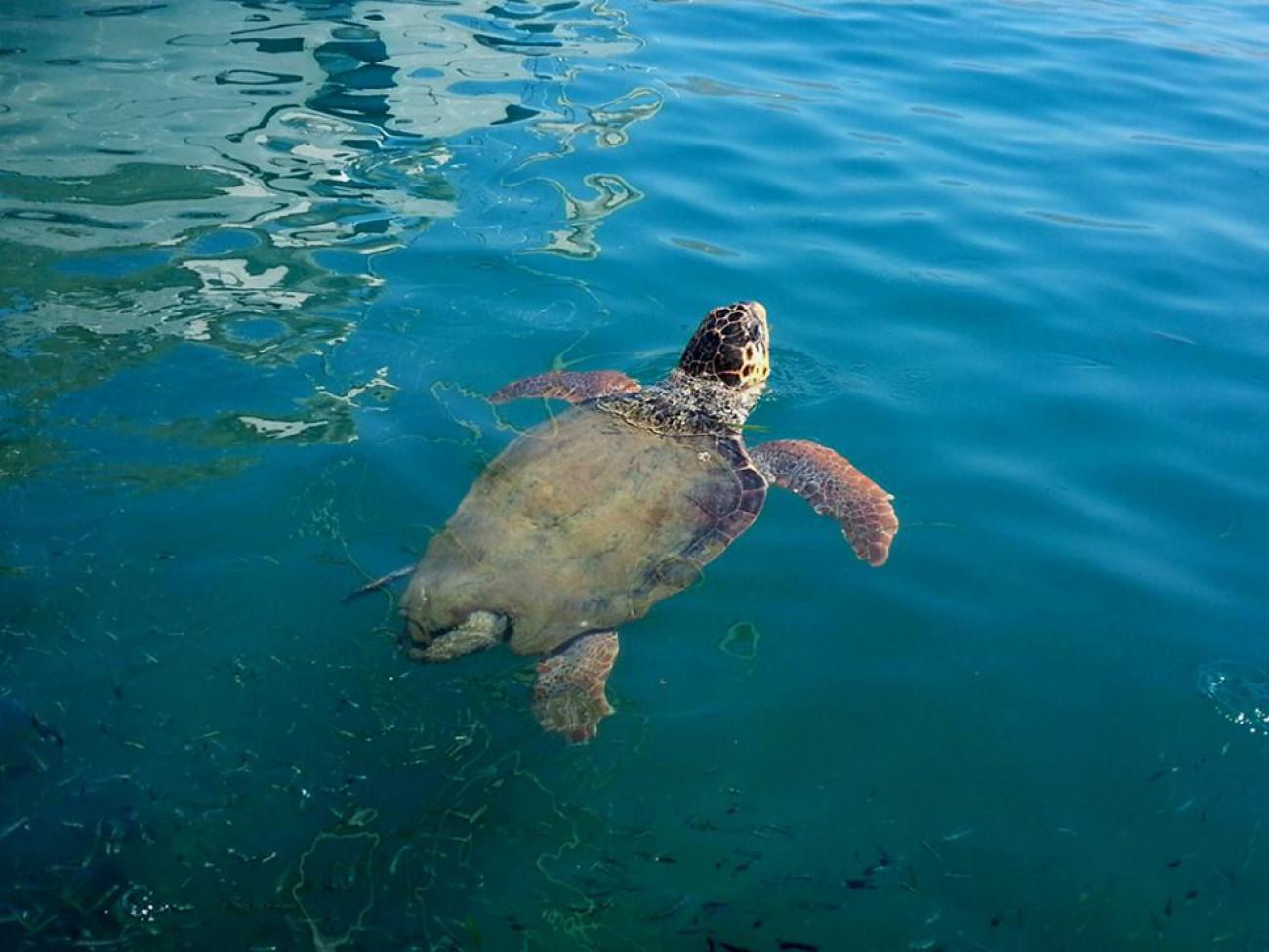 Κολυμπώντας με μία μεγάλη χελώνα καρέτα καρέτα  (βίντεο)