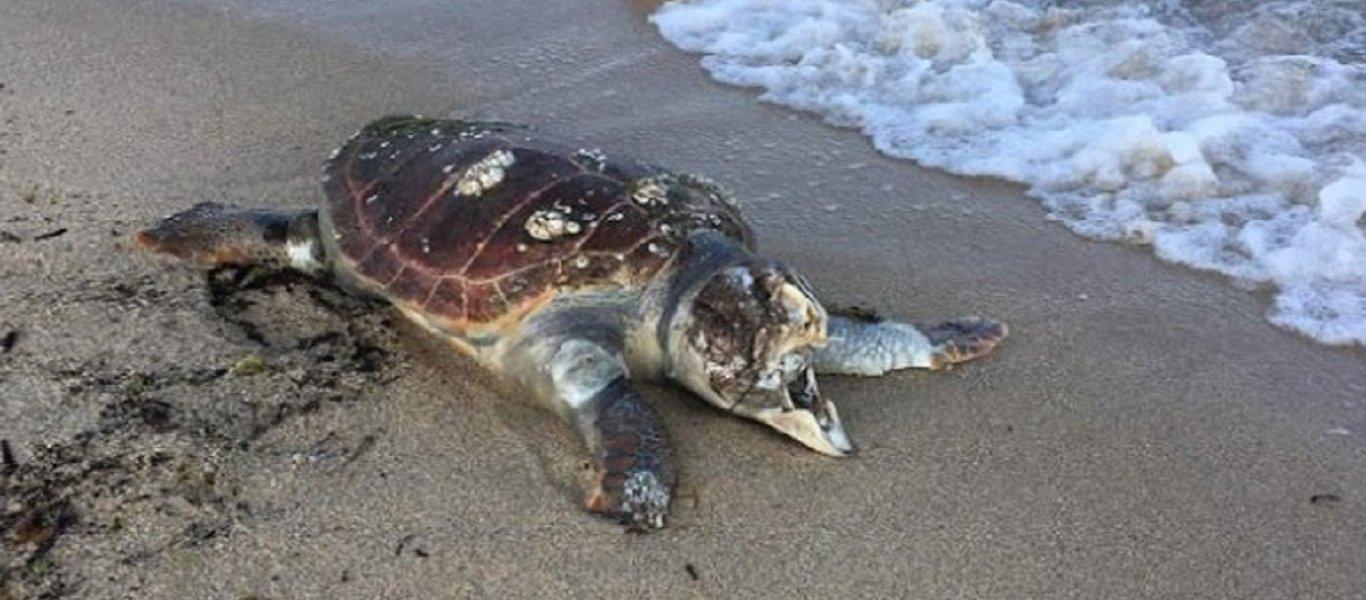 Δυο τραυματισμένες πράσινες χελώνες βρίσκονται στο Κέντρο Διάσωσης στο Μενεού