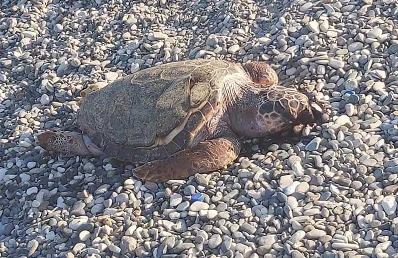 Συμπολίτης μας εντόπισε νεκρή χελώνα σε παραλία της Ορόκλινης (photos)