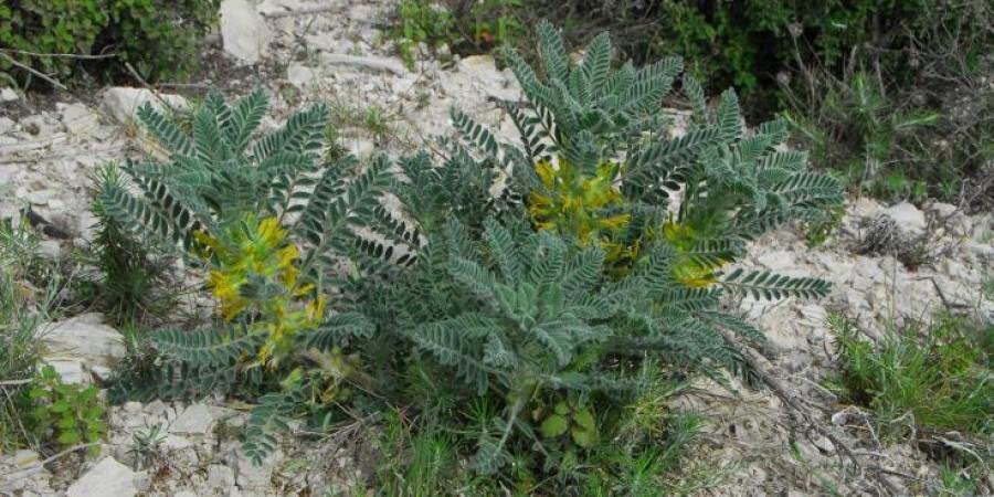 Φυτό του Απρίλη: «Αστράγαλος ο μακρόκαρπος, υποείδος των Λευκάρων»
