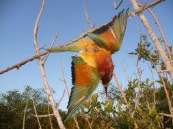 enas_pagideymenos_melissofagos_fotografia_committee_against_bird_slaughter