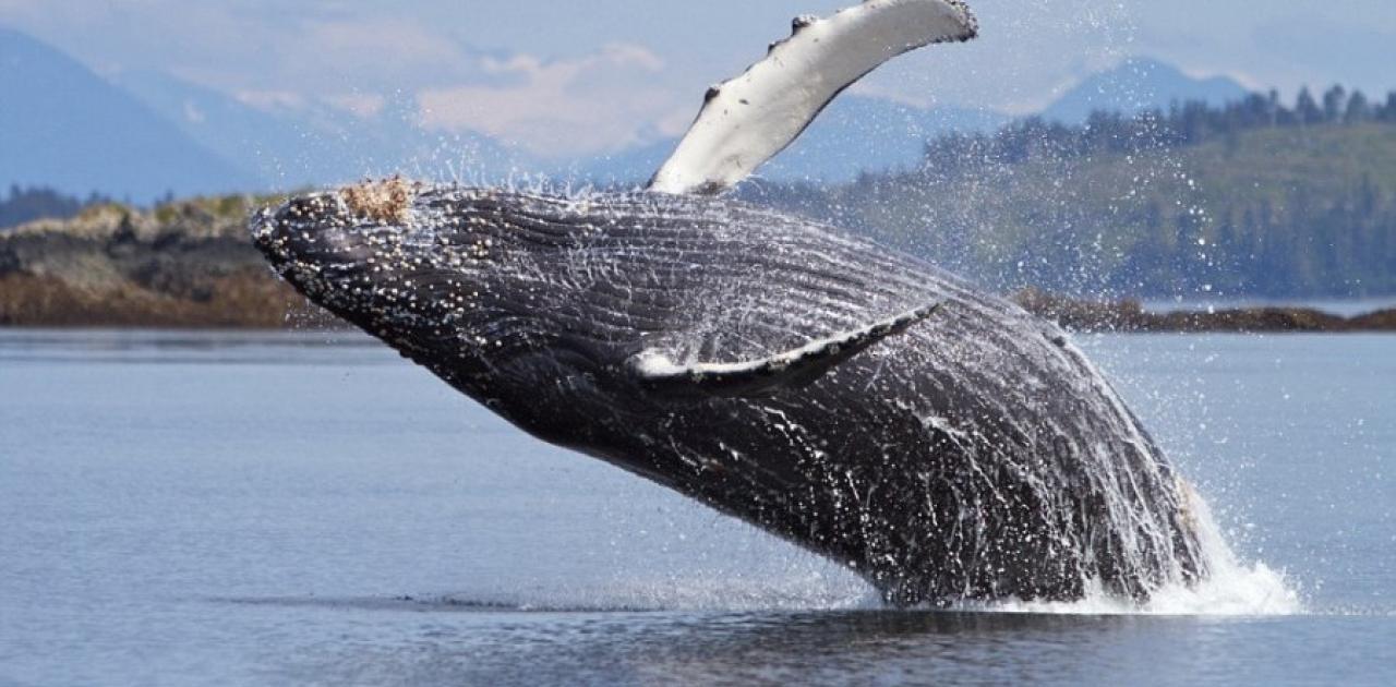 Μια γκρίζα φάλαινα θεάθηκε για πρώτη φορά στις ακτές της Γαλλίας στη Μεσόγειο