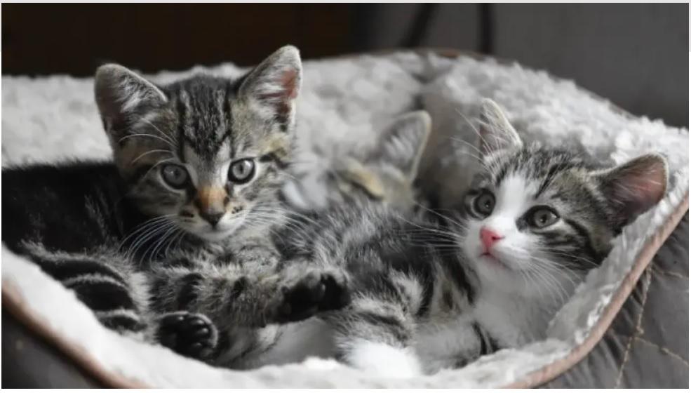 Εφαρμογή ενημερώνει τον ιδιοκτήτη μιας γάτας αν το κατοικίδιό του πονάει ή είναι χαρούμενο