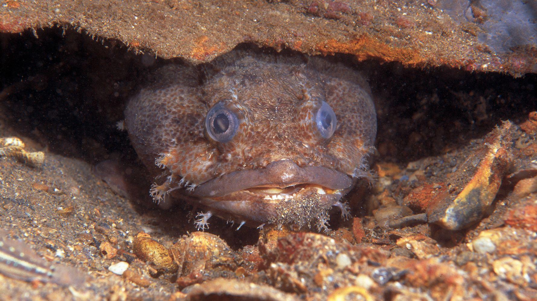 Βατραχόψαρο: Το επικίνδυνα τοξικό ψάρι που καταστρέφει την αλιεία της Κύπρου